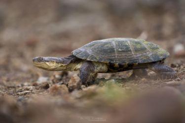 Pelomedusa subrufa - African Helmeted Turtle